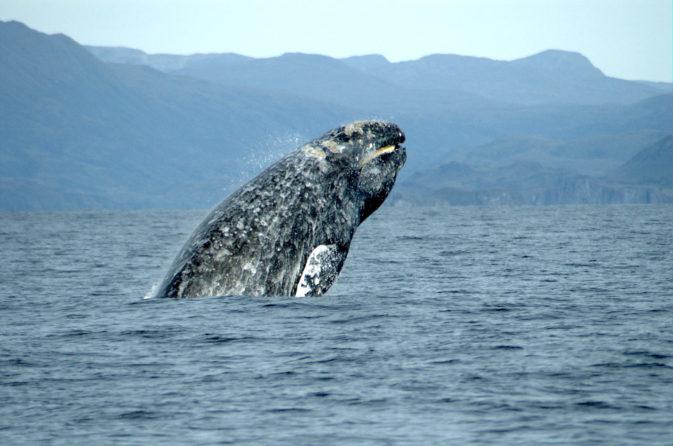 ballena-gris-batalla