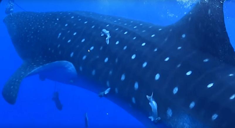 tiburon-ballena2