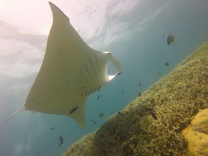 manta-rays-696x522