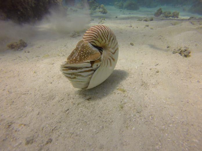 nautilus-crab-696x522